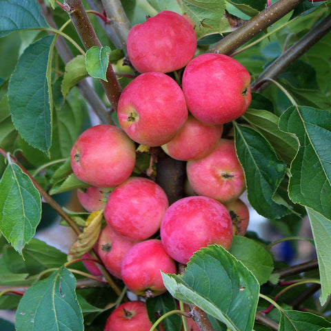 Malus Jelly King - Fruits