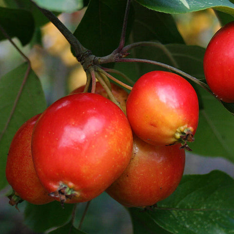 Malus John Downie - Fruits