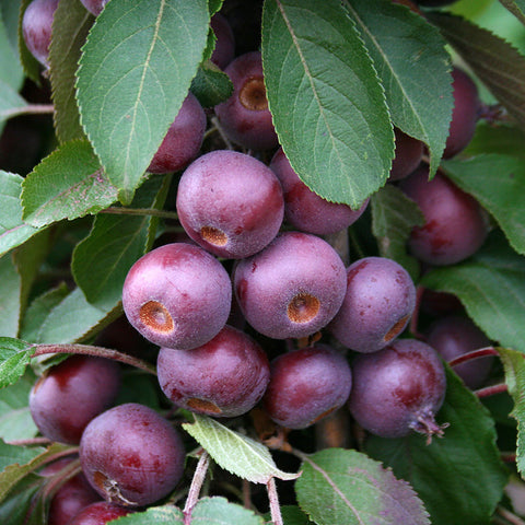 Malus Laura - Fruits