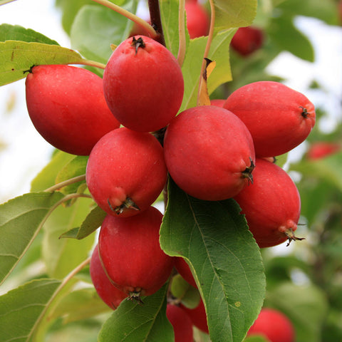 Malus Pink Glow - Fruits