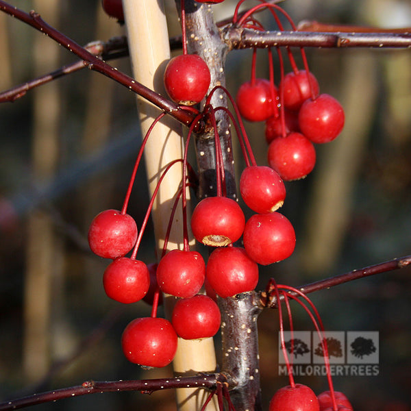 Small Ornamental Grasses With Purple Flowers Malus Prairie Fire - C...