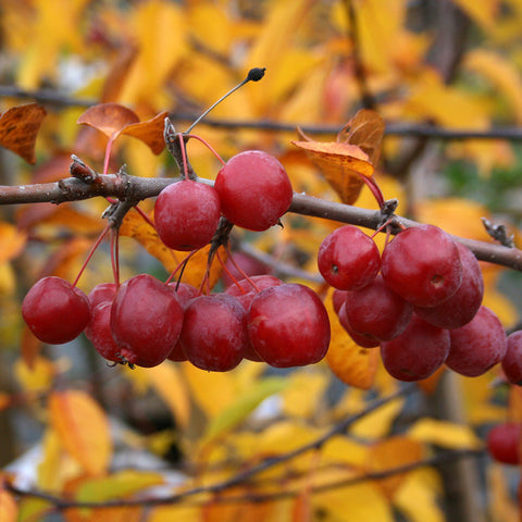 Malus Red Sentinel - Fruits