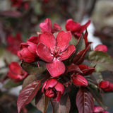 Malus Royalty - Flowers