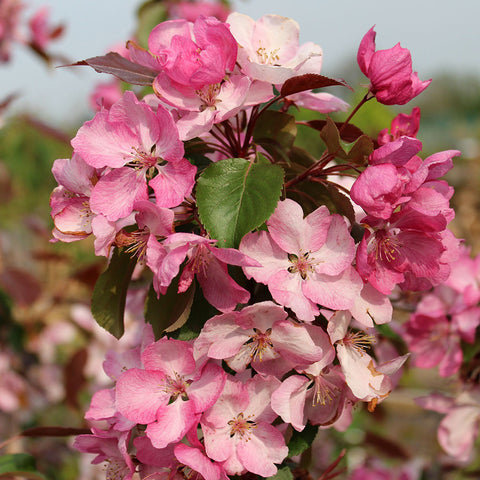 Malus Rudolph - Flowers