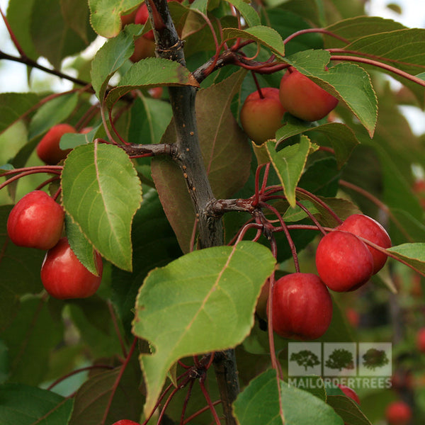 Fruit Products Mail: Malus Rudolph - Crab Apple Tree