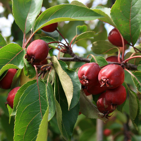Malus Simcoe - Fruits