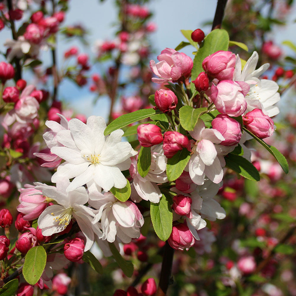 Malus Snowcloud Crab Apple Tree Mail Order Trees