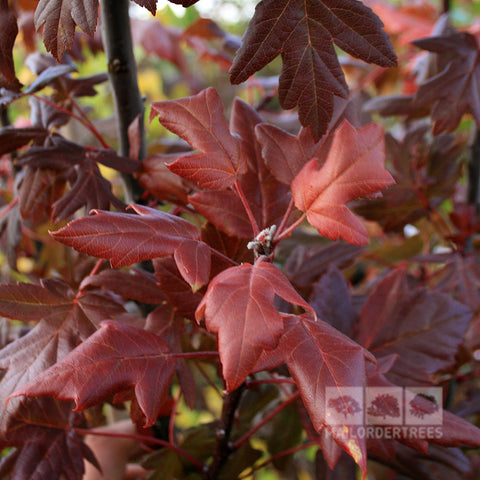 Malus Guardsman - Foliage