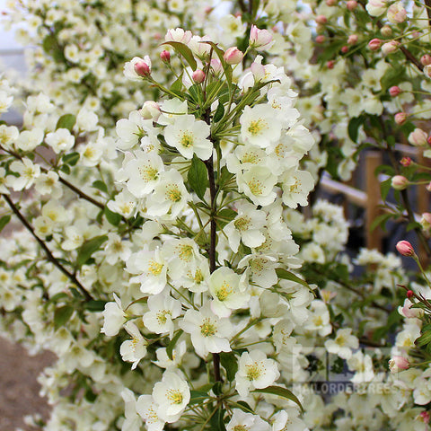 Malus Wedding Bouquet - Flowers