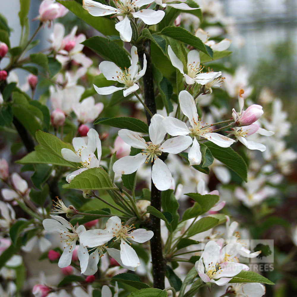Malus white star crab apple tree mail order trees malus white star flowers mightylinksfo