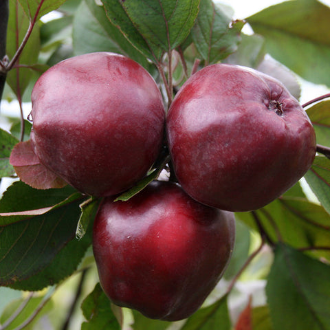 Malus Wisley Crab - Fruits