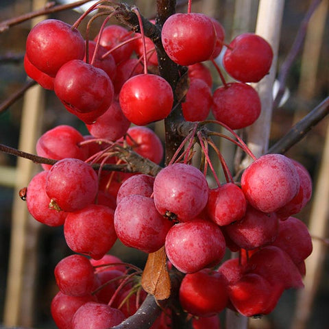 Malus x robusta - Fruits