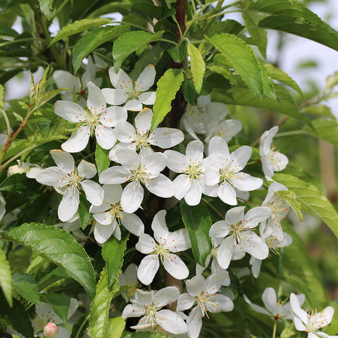 Malus transitoria - Flowers