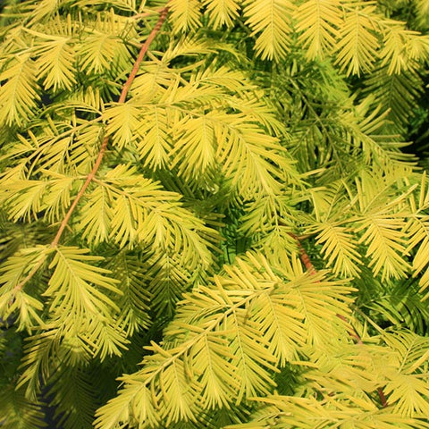 Metasequoia Goldrush - Foliage
