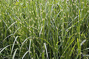 Miscanthus Strictus - Foliage