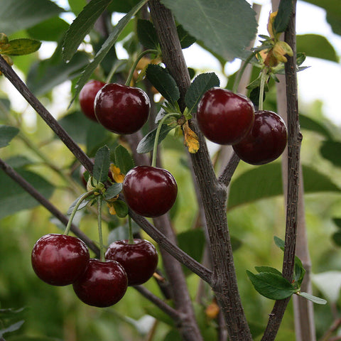 Prunus Morello - Fruits