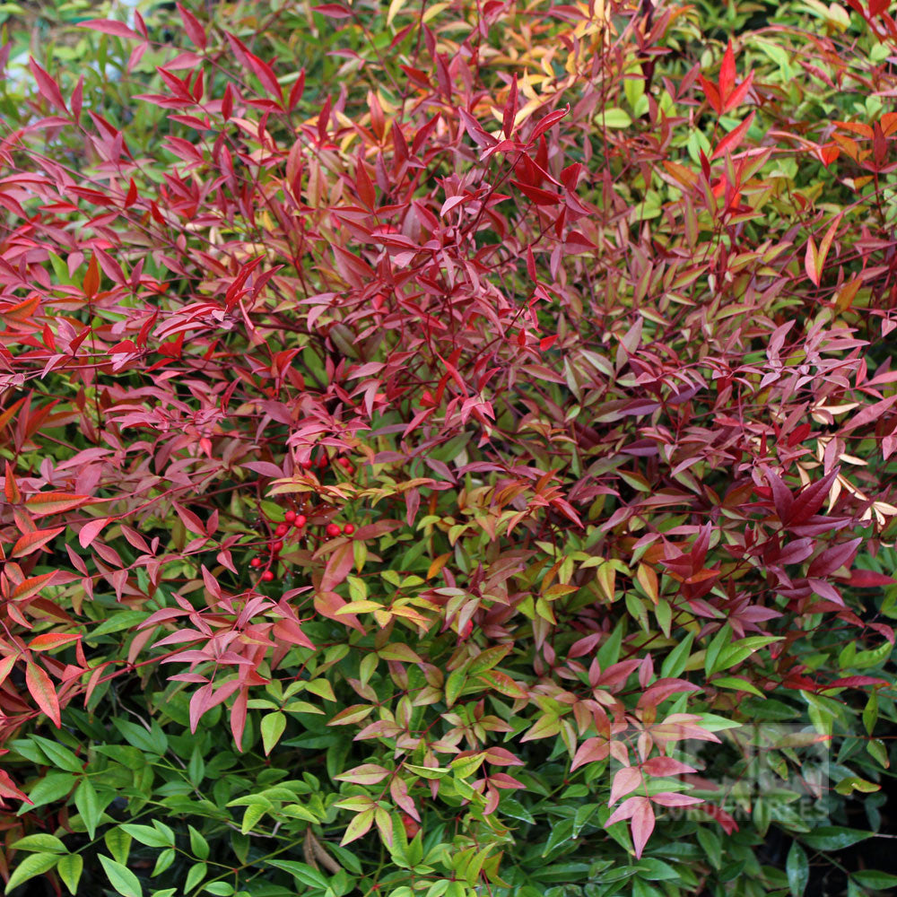 nandina domestica sacred bamboo mail order trees. Black Bedroom Furniture Sets. Home Design Ideas