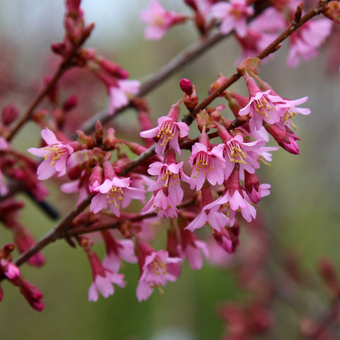 Prunus Okame - Flowers