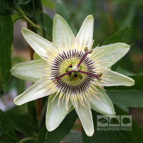 Passiflora White Lightning - Flower
