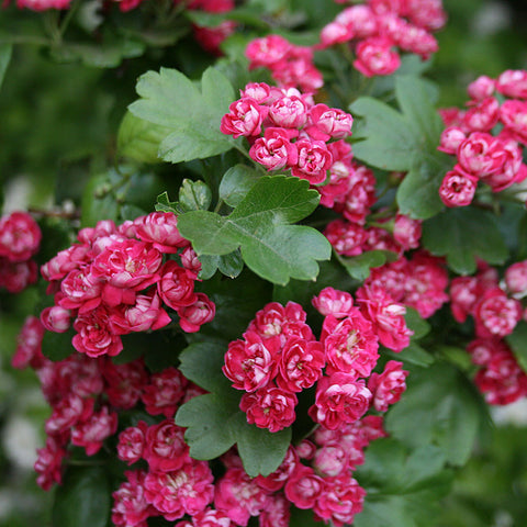 Crataegus Paul's Scarlet - Flowers