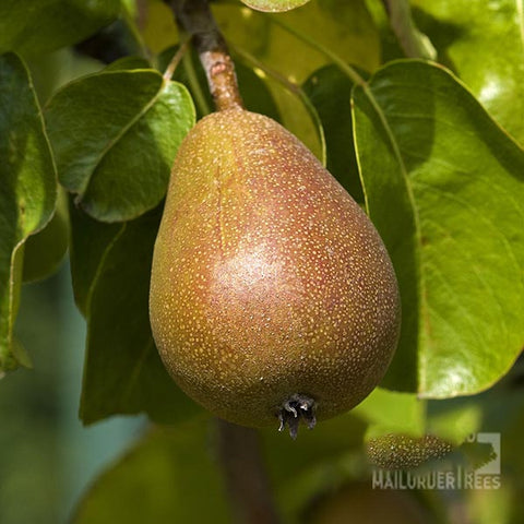Pyrus Beurre Hardy - Fruit