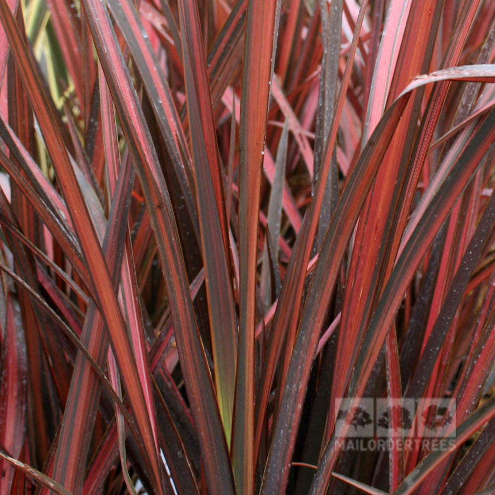 phormium evening glow new zealand flax mail order trees. Black Bedroom Furniture Sets. Home Design Ideas