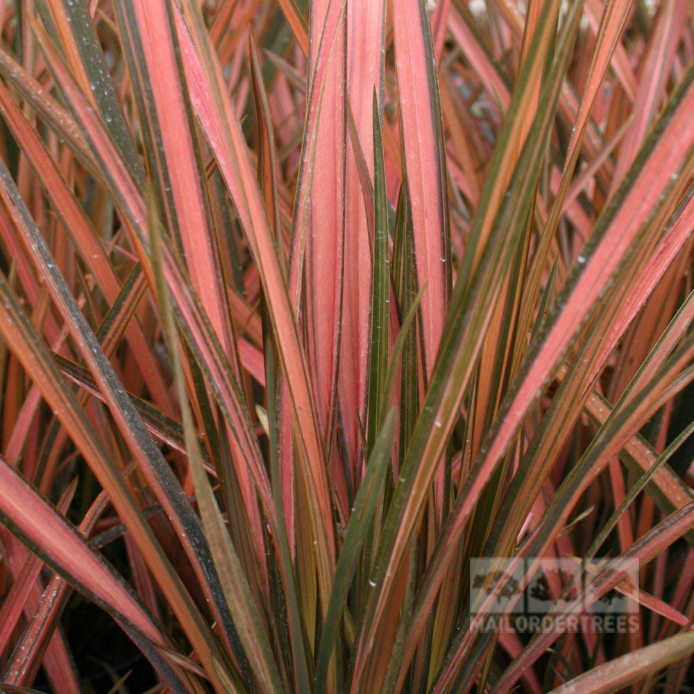 phormium pink panther new zealand flax mail order trees. Black Bedroom Furniture Sets. Home Design Ideas