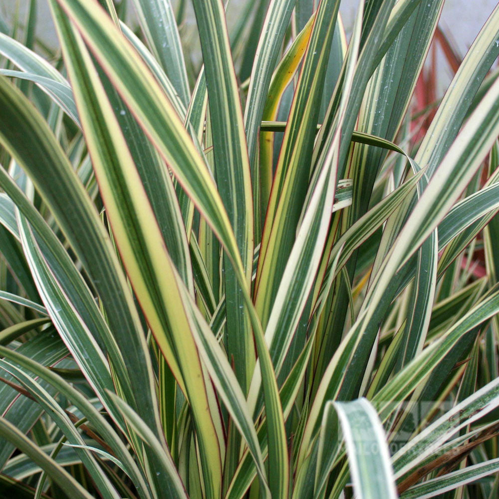 phormium tricolor new zealand flax mail order trees. Black Bedroom Furniture Sets. Home Design Ideas