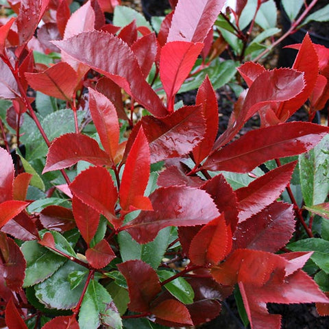 Photinia Red Robin - Foliage