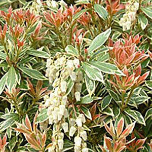 Pieris Little Heath Variegata - Foliage