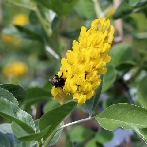 Cytisus battandieri - Flower