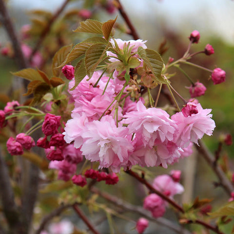 Prunus Pink Perfection - Flowers