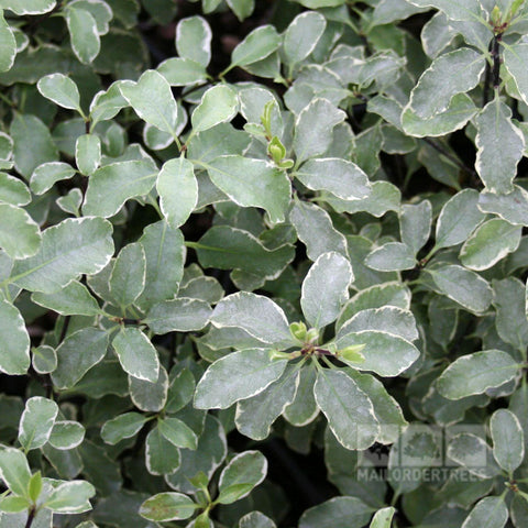 Pittosporum Garnettii - Foliage