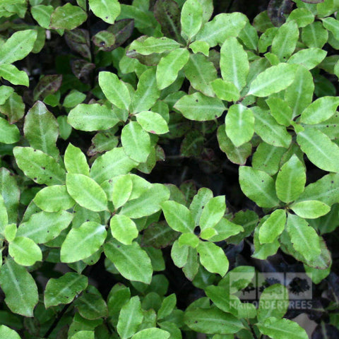 Pittosporum Tom Thumb - Foliage