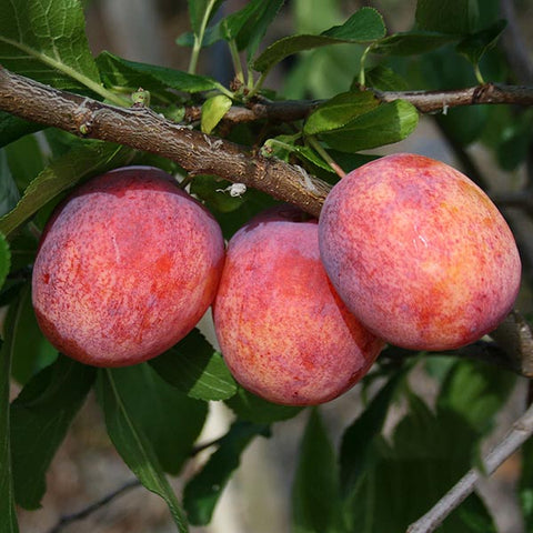 Prunus Avalon - Fruits