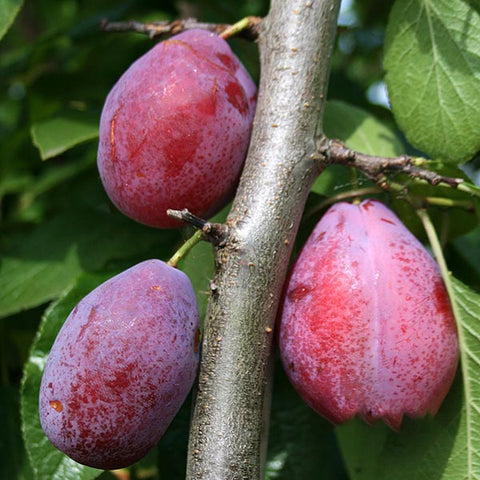 Prunus Giant Prune - Fruits