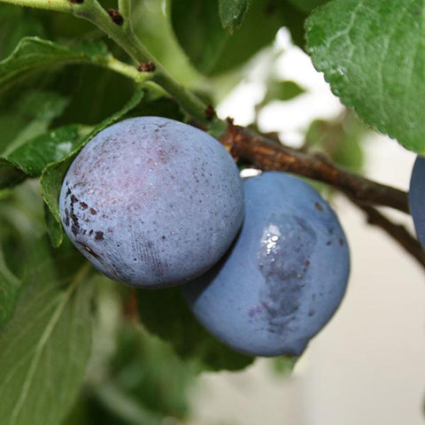 Prunus Czar - Fruits