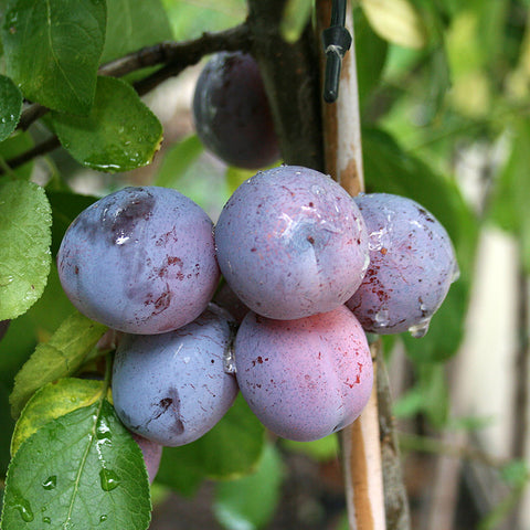 Prunus Rivers Early Prolific - Fruits