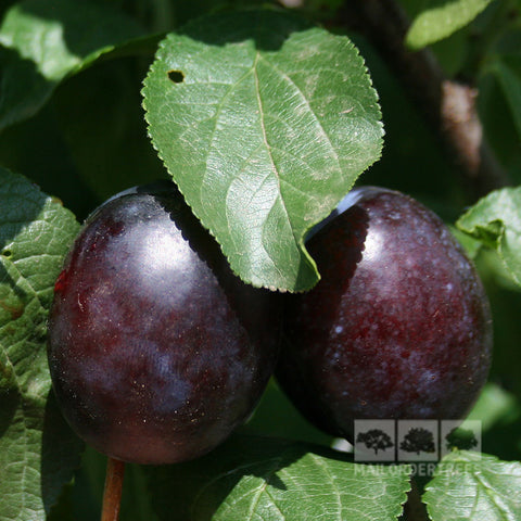 Prunus Herman - Fruits