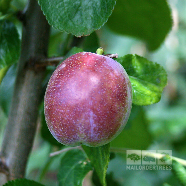 Fruit Products Mail: Marjorie's Seedling Plum Tree