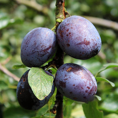 Prunus Violetta - Fruits