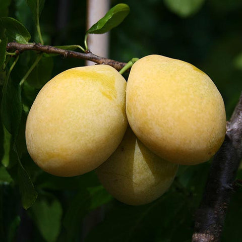 Prunus Yellow Pershore - Fruits