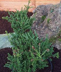Podocarpus Jacks Pass