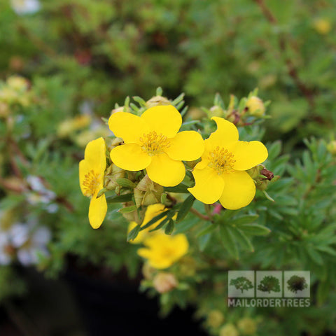 Potentilla Goldfinger - Flower