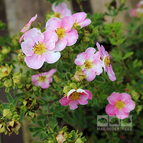 Potentilla New Dawn - Flowers