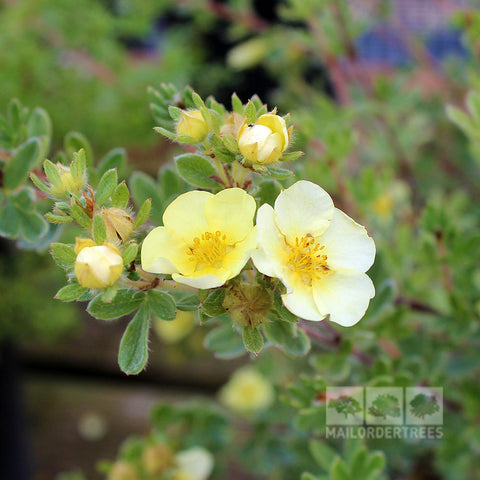 Potentilla Primrose Beauty - Flowers