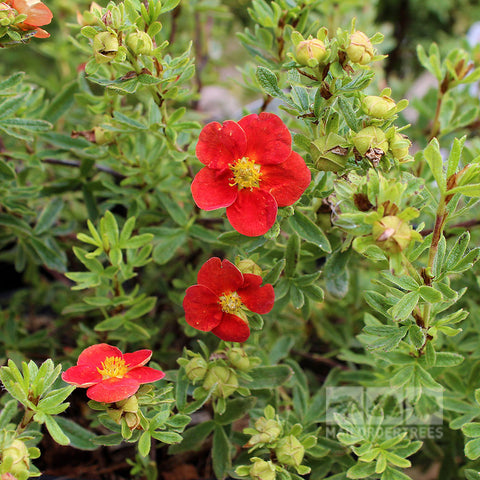 Potentilla Red Lady - Flowers