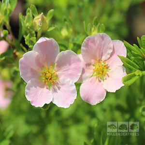 Potentilla Lovely Pink - Flowers