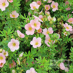 Potentilla Lovely Pink Shrubby Cinquefoil Pink Beauty Mail Order