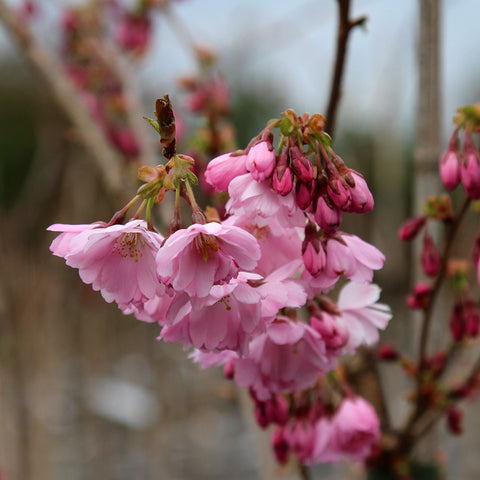 Prunus Accolade - Flowers